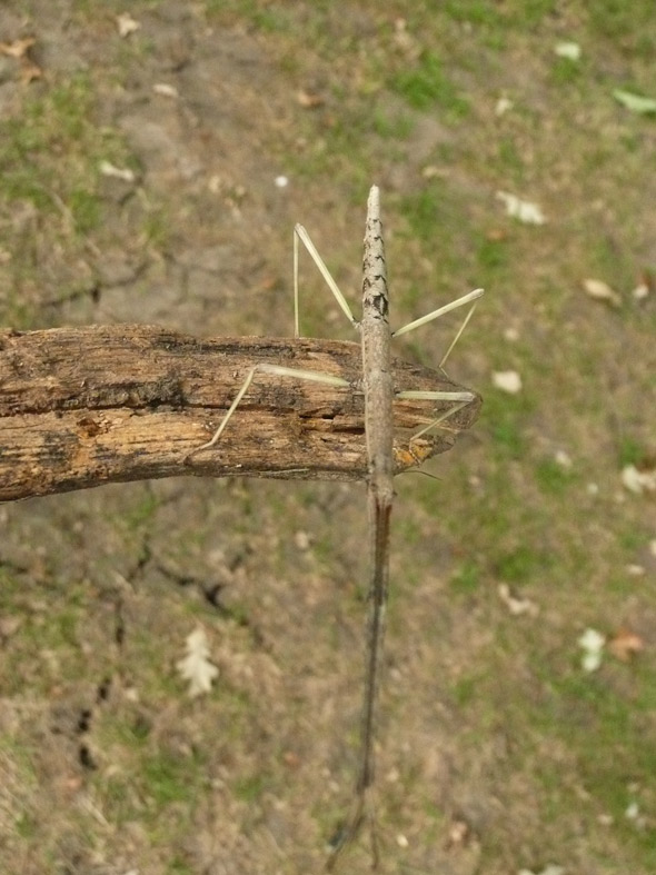 Stick bug at the folk festival