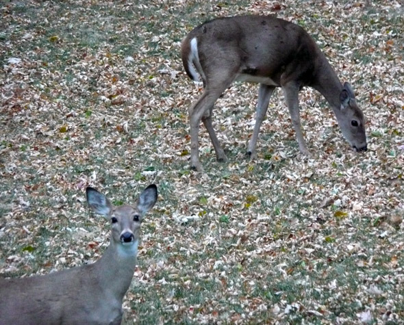 Deer in my back yard ...